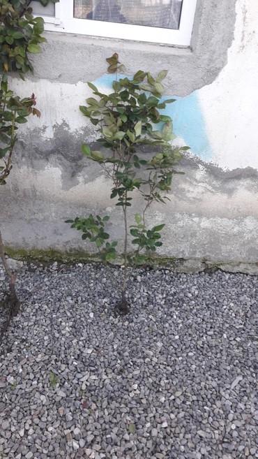 Otaq bitkiləri Tərtərda: Heyet gülleri geldi Bakiya Nermanovda kim isdiyir ala biler bir kol 1