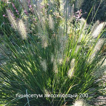 садовые растения в Кыргызстан: Садовые растения Злаки, хосты, юку и осоки, очитки. Доставки и посадк