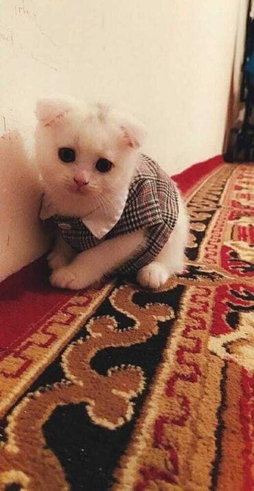 вислоухий шотландец котенок в Азербайджан: Шотланский котенок виселаухий мальчик 3 месяца