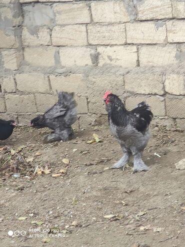 hinduska satilir в Азербайджан: Barmalar satılır 15 20 25 30 var 3 -4 ayligdilar 7 8 ədədi yerim