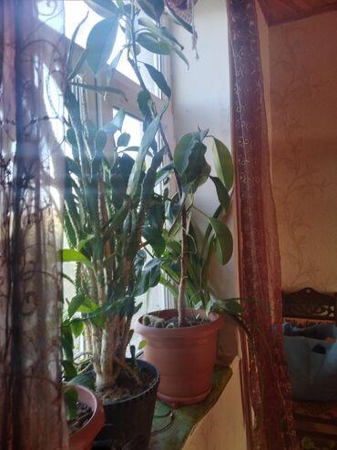 Fikusaloelimon agacı,birdd kala gülü.4 bir yerdə 25m