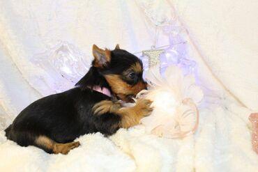 Πώληση κουτάβια Yorkshire TerrierΈχουμε προς πώληση αρσενικά και