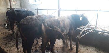 Животные - Ивановка: Быки. 2 по 1.5 года и 1 по 1.8 года