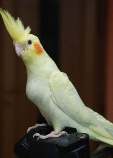 Продаются молодые попугаи Карелы (Нимфа ) белая, ожереловая, Пакистан