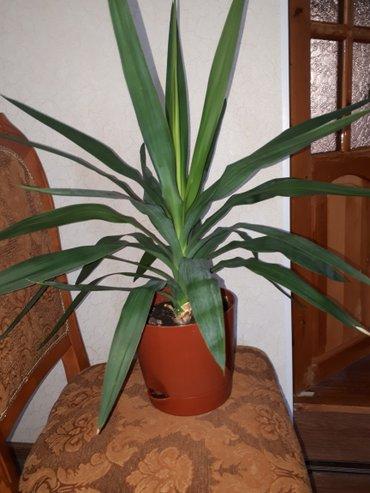 Пальма юкка  в Лебединовка