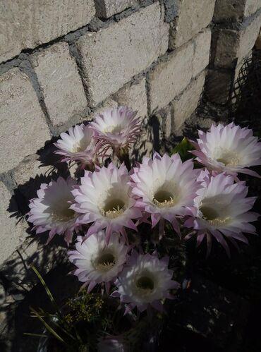 Kaktus - Azərbaycan: Bu gulun balalarin satram isteyen elaqe saxlaya biler