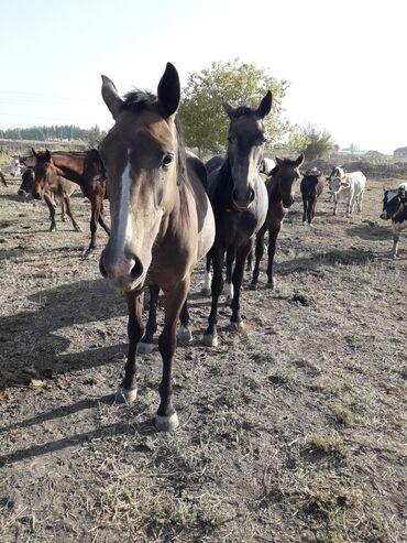 139 объявлений   ЖИВОТНЫЕ: Продаю   Кобыла (самка)   Для разведения, Конный спорт   Племенные