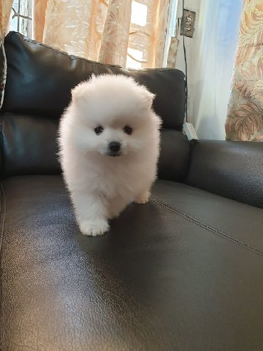 Hi I have a beautiful Pomeranian boy looking for forever at home, he i