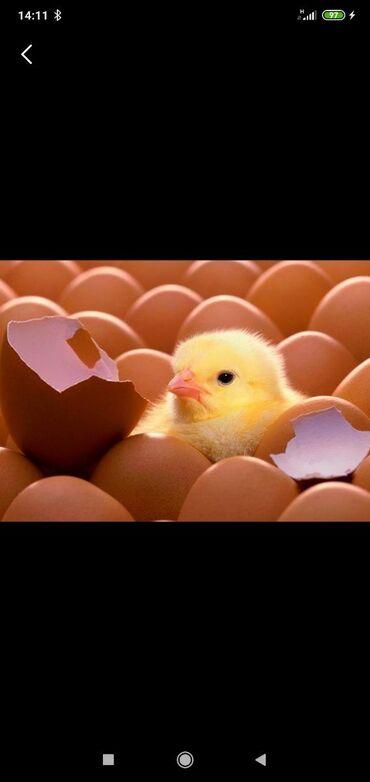 Куплю домашние яйца для инкубации
