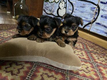 trebujutsja modeli na besplatnuju strizhku в Кыргызстан: Готовятся к продаже элитные щенки йоркширского терьера, мальчики