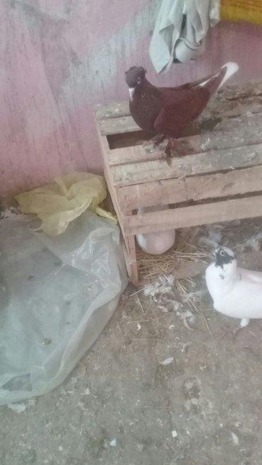 Bakı şəhərində qirmizi ag quyruq kekkilli leleyli maya satilir