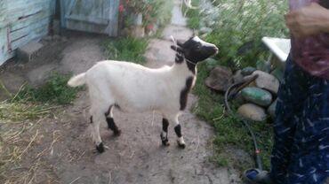 Продаю козла на племя его мать дают 6л молока