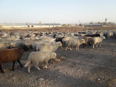 продаю овцематок, ягнят, валухов. цена договорная  в Кант