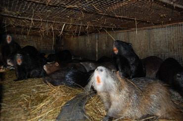 Крысы в Кыргызстан: Продаю нутрий, на мясо и племяЦена договорная. Обращаться по номеру