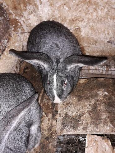здоровое сердце в Кыргызстан: Продаю кролов для потомство на мясо.здоровые молодые породистые.мясо