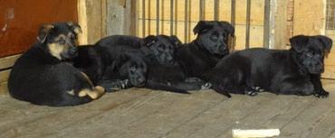 Продаются щенки немецкой овчарки от в Балыкчи