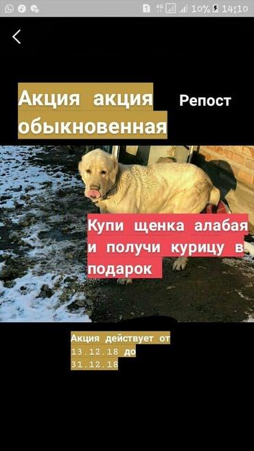 Акция купи щенка алабая и получи курицу в подарок алабай сао азият в Бишкек