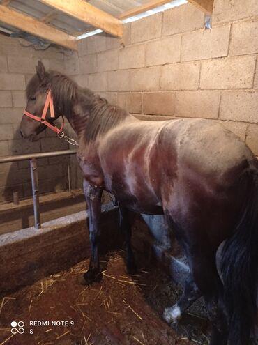 Животные - Милянфан: Продаю   Конь (самец), Жеребец