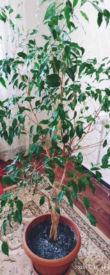 растение-комнатная в Кыргызстан: Дерево Бенжамина, 2-шт., высота-140см