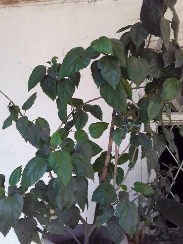 Денежное дерево - Кыргызстан: Продаю китайскую розу 3000с. Есть другие комнатные цветы по100сом и