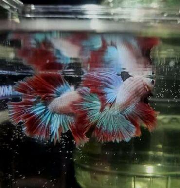 Рыбка петушокРыбка петушок – это представительница семейства