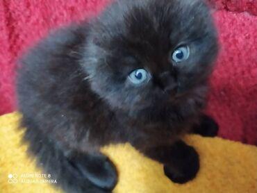 Продаю Шотландских вислоухих котят, котятам 2 месяца.мальчик и девочка