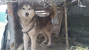 сибирский ель в Кыргызстан: Продаю сибирская хаски сучка за7000,и кабель американская за6000