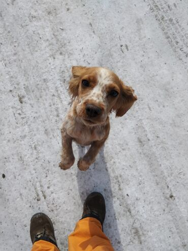 квартира берилет каракол in Кыргызстан | БАТИРЛЕРДИ УЗАК МӨӨНӨТКӨ ИЖАРАГА БЕРҮҮ: Собака породы СПАНИЕЛЬ чистокровная в городе Каракол, 2,4 годика