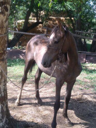 Животные - Балыкчы: Продаю   Кобыла (самка)   Для разведения   Племенные