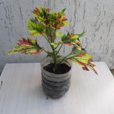Продаю красивый цветок Колеус