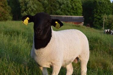 Бараны, овцы - Порода: Другая порода - Бишкек: Продаю | Овца (самка)