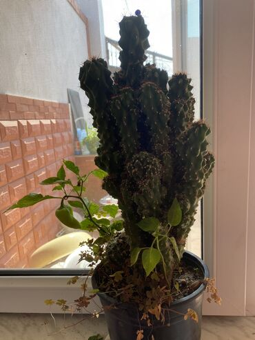 Otaq bitkiləri - Azərbaycan: Kaktus