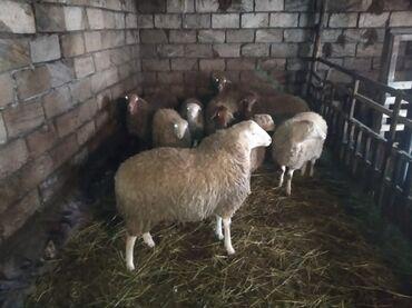Животные - Худат: Овца (самка), Ягненок, Баран (самец) | Другая порода | Беременная