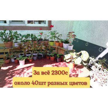 101 объявлений: СРОЧНО!!! За ВСЁ 3000с Распродаю Комнатные цветы ЦЕНЫ указаны на фо