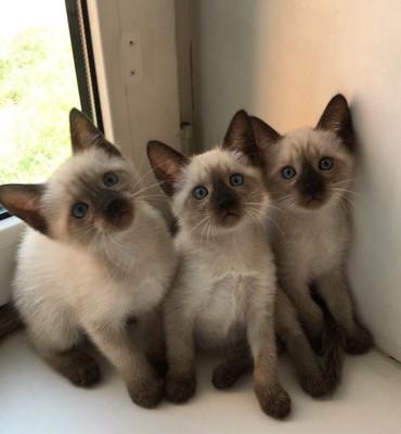 Bakı şəhərində Сиамские котята (Siam)