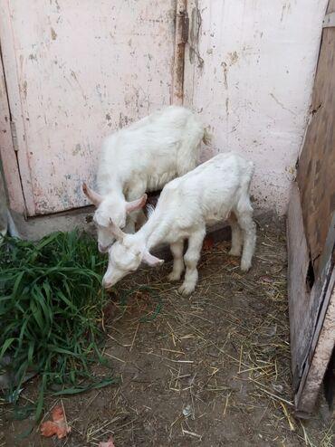 Продаю | Коза (самка), Козёл (самец), Козлёнок | Зааненская | Для разведения, Для молока | Племенные