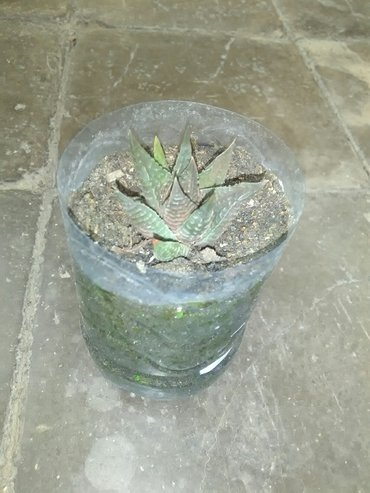 """Bakı şəhərində Succulent gulu  """"hawortia limfolia""""  cemi 2 azn!!!"""