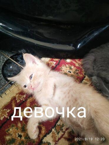 164 объявлений   ЖИВОТНЫЕ: Отдам котят в хорошие руки. Серый мальчик, бежевая девочка. Мама
