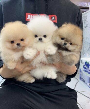 Κουτάβια Pomeranian Διεύθυνση email επικοινωνίας
