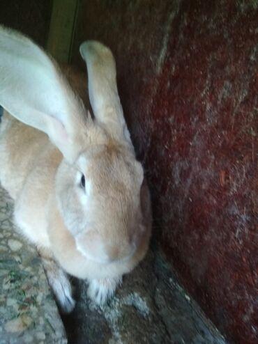 Кролики в Лебединовка: Продаю крольчиху беременную возраст один год два месяца.порода резин