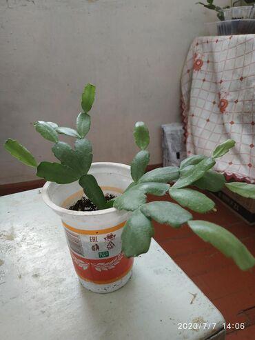 Комнатные растения - Кызыл-Кия: Декабрист 100, сансевьера50 сом -3 отростка,гипеаструм 150 розовый