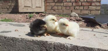 Животные - Бактуу-Долоноту: Продаю цыплят брамма и полу брамма и месные прививки, и ваксинаци все
