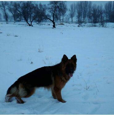skidki na futbolki в Кыргызстан: Продаю шикарных щенков немецкой овчарки. Щенки прошли актировку в