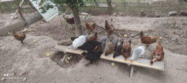 Животные - Ала-Тоо: Продаю цыплят 4.5*5месяц