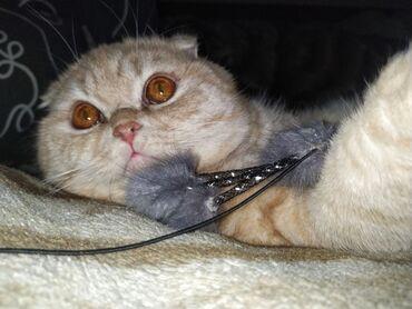 Коты - Кыргызстан: Кот на вязку! Вязка. Скоттиш Фолд (вислоухий) Привит. Окрас - Кремовый