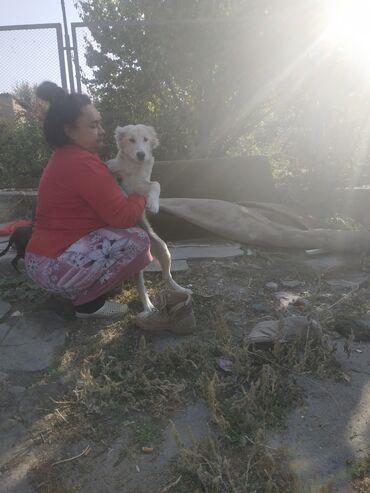 Продаю собаку алабай 3 месяца