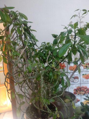 цветы и котика в Кыргызстан: Прод ком цветы