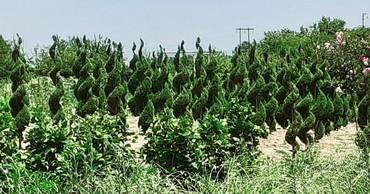 Muxtelif nov, yerli sheraitde yetishdirilmish dekorativ bitkilerin sat