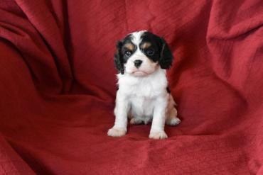 Cavalier King Charles Spaniel σε Central Athens