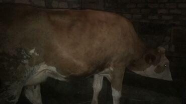 - Azərbaycan: Cins inekler 4 denedi Avstralyadan getirilib